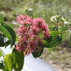 Heptacodium miconioides (1)