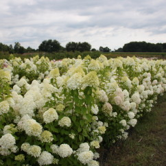 Hydrangea paniculata Lime Light