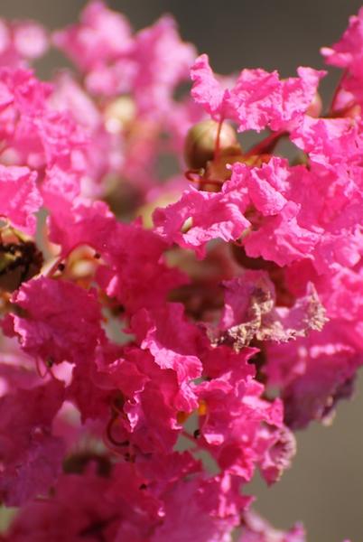 Lagerstroemia Rose Indien Plantes D Aquitaine