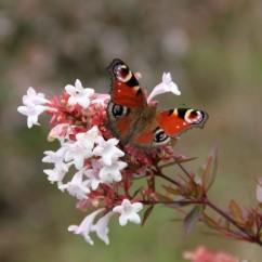 abelia-grandiflora OK