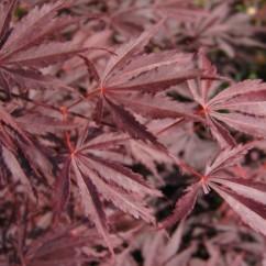 acer-palmatum-Burgundi-lace-OK