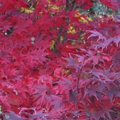 acer-palmatum-okagami-OK