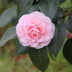 camellia-japonica-ave-maria