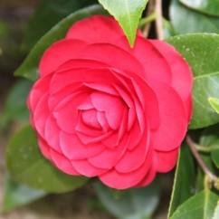 camellia-japonica-black-lace