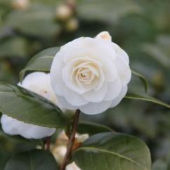 camellia-japonica-compacta-alba