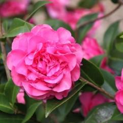 camellia-japonica-debbie