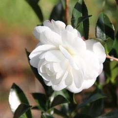 camellia-sasanqua-early-pearly
