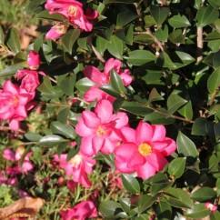 camellia-sasanqua -hiryu