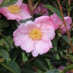 camellia-sasanqua-plantation-pink