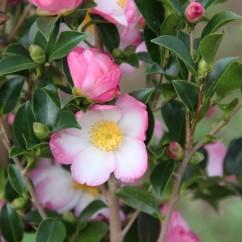 camellia-sasanqua -versicolor