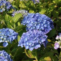 hydrangea-macrophylla-mathilde-gutges