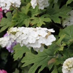 hydrangea-quercifolia-snow-queen