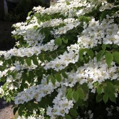 viburnum-plicatum-mariesi